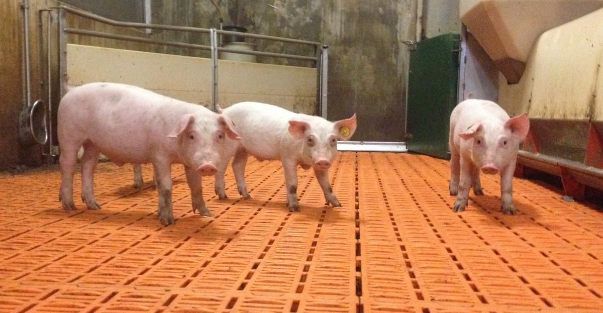 Animal life plus - verkens - schoone stal